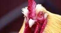 Kam spořit na důchod (I. díl): Pořiďte si slepici, která snáší zlatá vajíčka