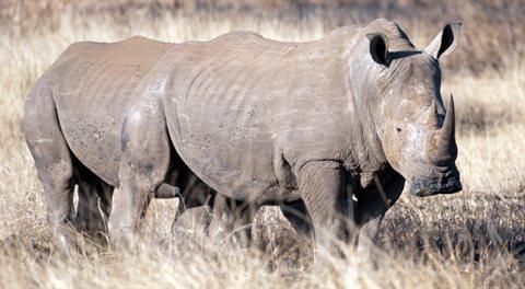Pozitivní zprávy: Nosorohy, Babiš, onanie