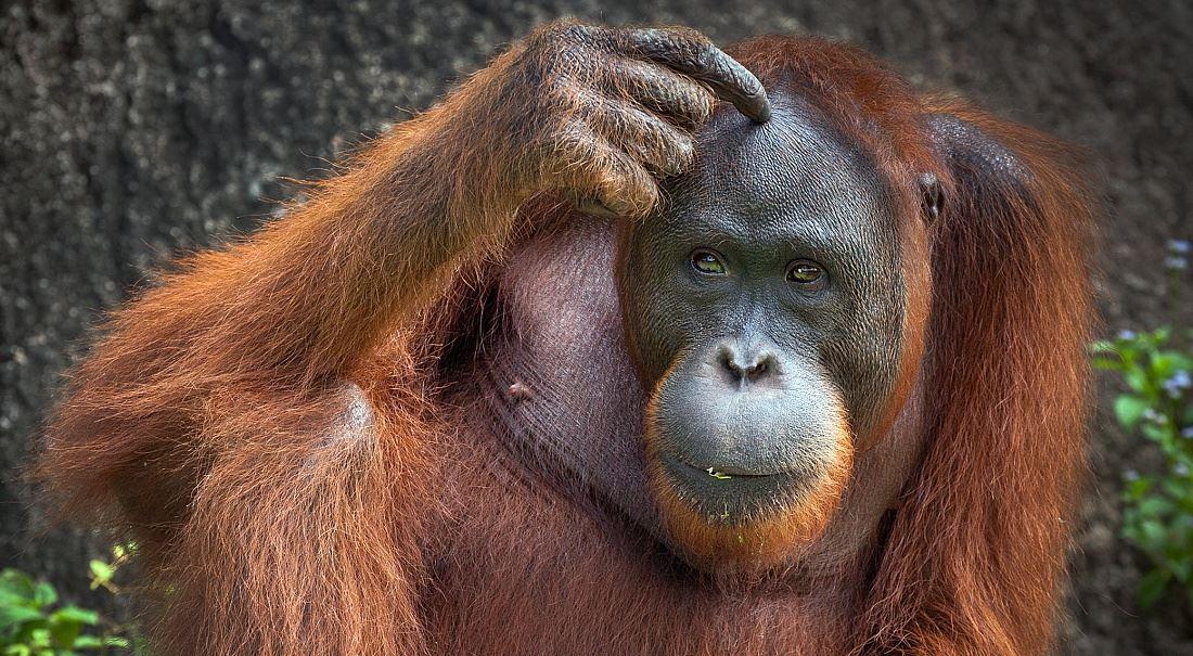 Levné máslo sežral orangutan!