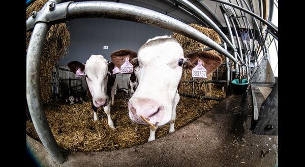 Jako tele v žitě. Tahle farma žádnou krávu neošulí