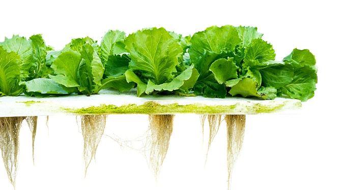 Zásobujete se sami zeleninou? Bez půdy roste v hydroponii nebo aquaponii