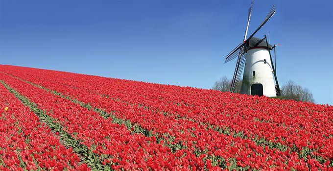 Další zvadlý tulipán?