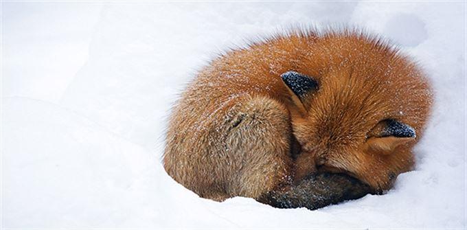Liška v zimě spí