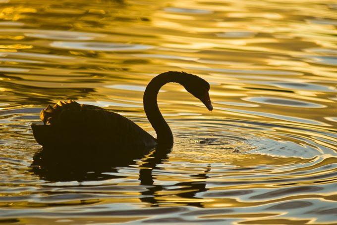 Vyhnou se nám černé labutě?