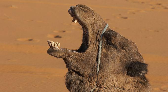 Pozitivní zprávy: Coca-cola útočí velbloudem